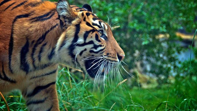 Wallpaper: Sumatran Tiger at Zoo