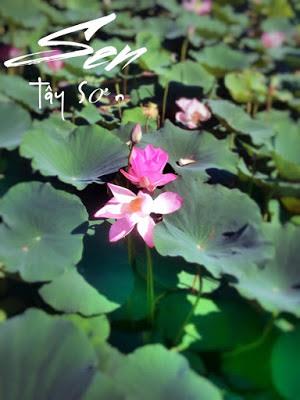 Đầm sen ở Tây Sơn Bình Định đẹp hút hồn du khách