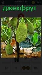 На дереве растут экзотические фрукты под названием джекфрут