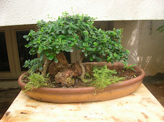 Bonsai cluster for sale