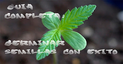 germinación semillas de marihuana