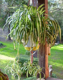 mature spider plant with many plantlets