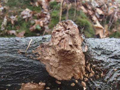 grzyby 2016, grzyby w listopadzie, grzyby nadrzewne