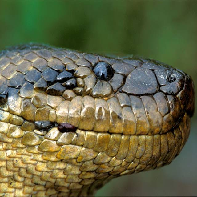 Anaconda gigante pode chegar a 20 metros