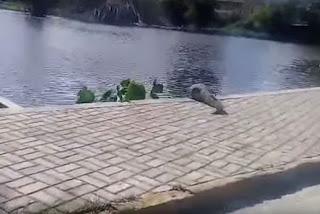 UFCG reforça vigilância no entorno do lago para capturar jacaré