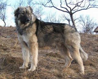 Carpathian Shepherd Dog-pets-dog breeds