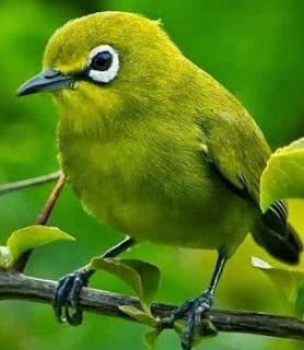 12 Jenis Burung Pleci Yang Wajib Anda Ketahui