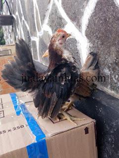 Ayam Serama Usia 4 Bulan