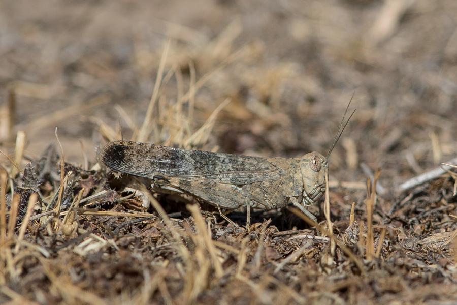Desert Locust – Tanoumah