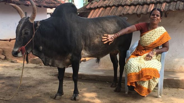 Indian woman chose bull for marriage