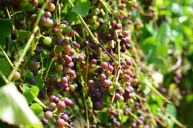 Dojrzewajacy winogron