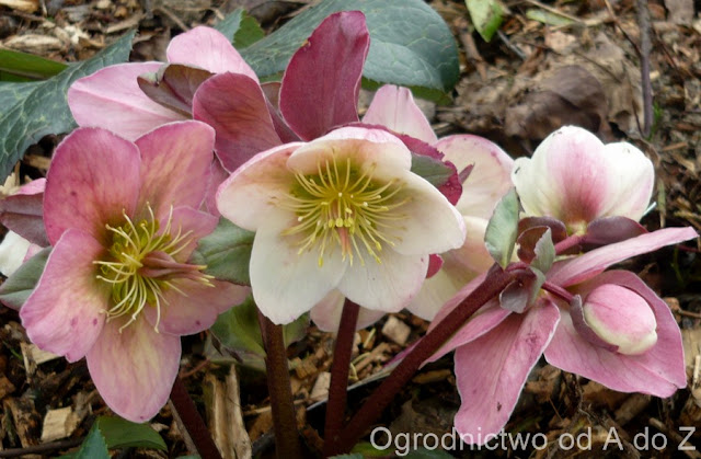 Helleborus × ericsmithii 'Winter Moonbeam'
