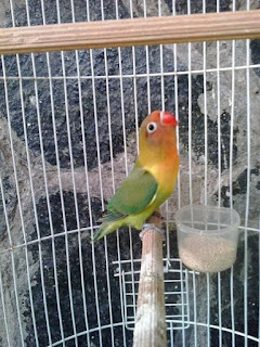 Lovebird Jantan Atau Betina Yang Lebih Gacor Untuk Lomba