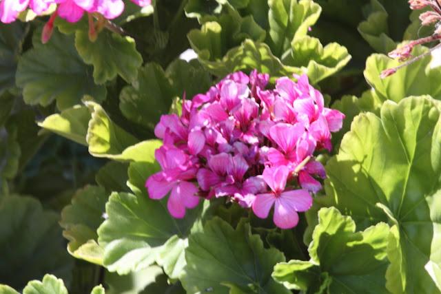 Pink Geranium bunch