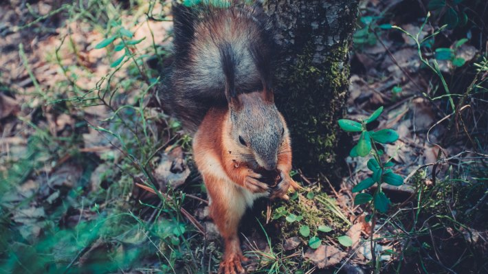Wallpaper: Squirrel eating in forest