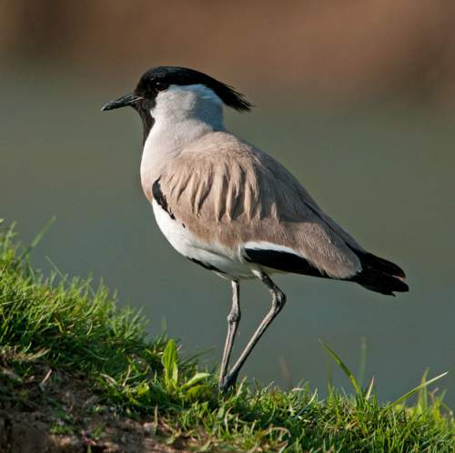 Indian birds - Image of River lapwing - Vanellus duvaucelii