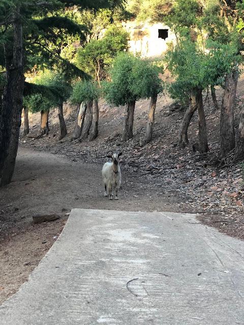 capra sarda arbatax park resort