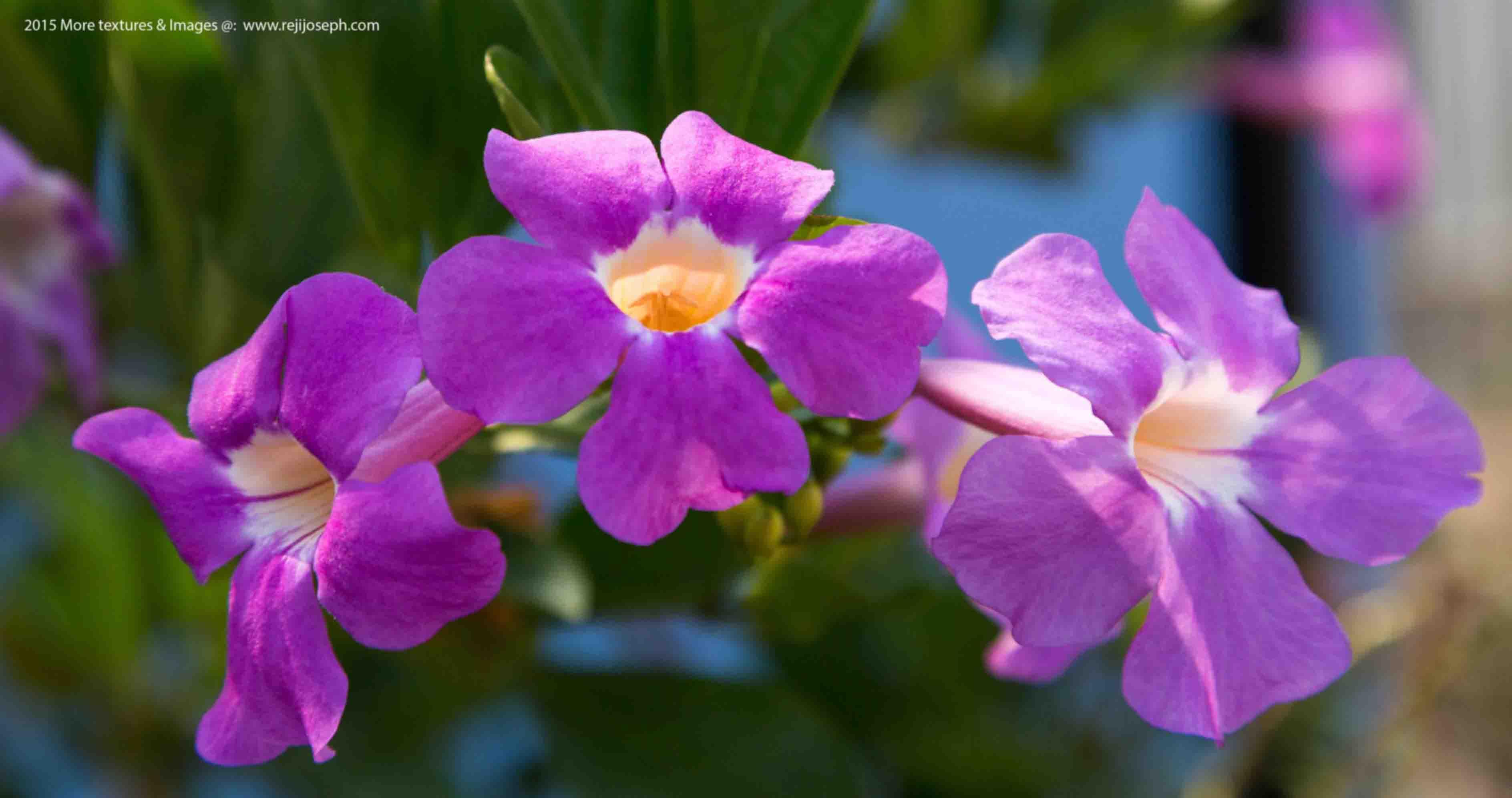 Petunia Flowers 00001