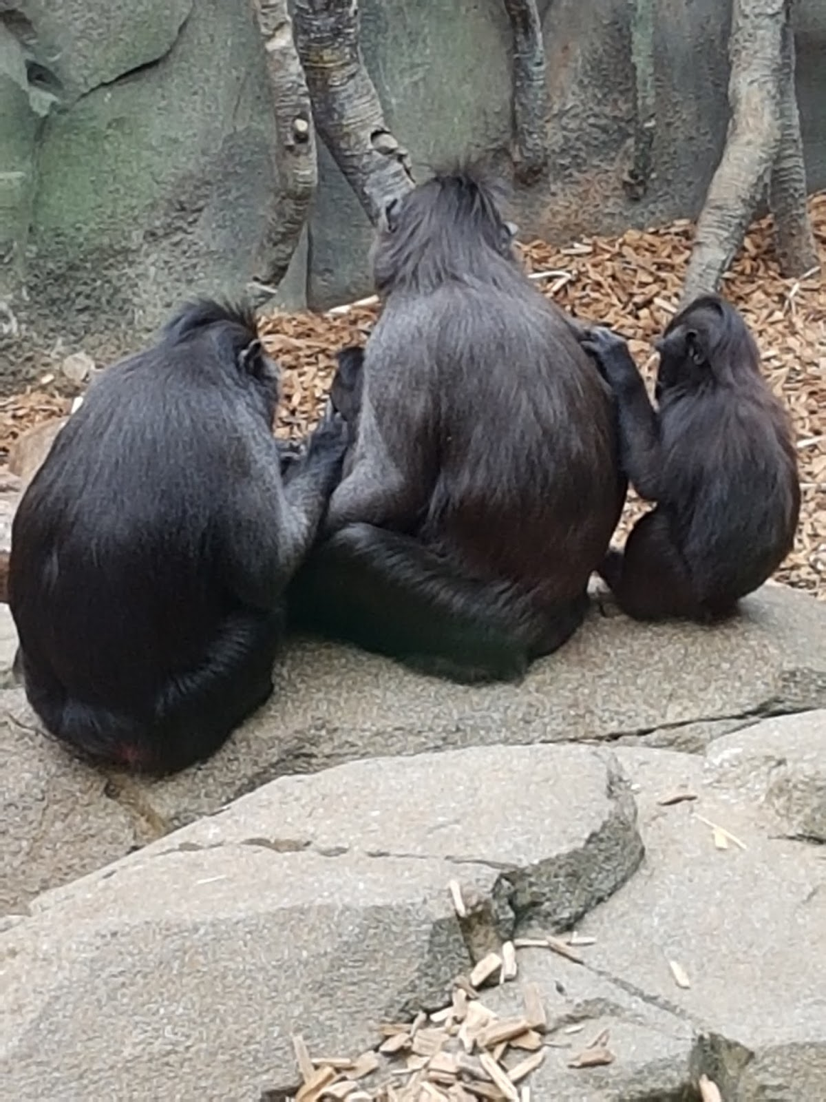 A family group of black coloured apeas sitting on a log with two adults, one is bigger than the other and a baby