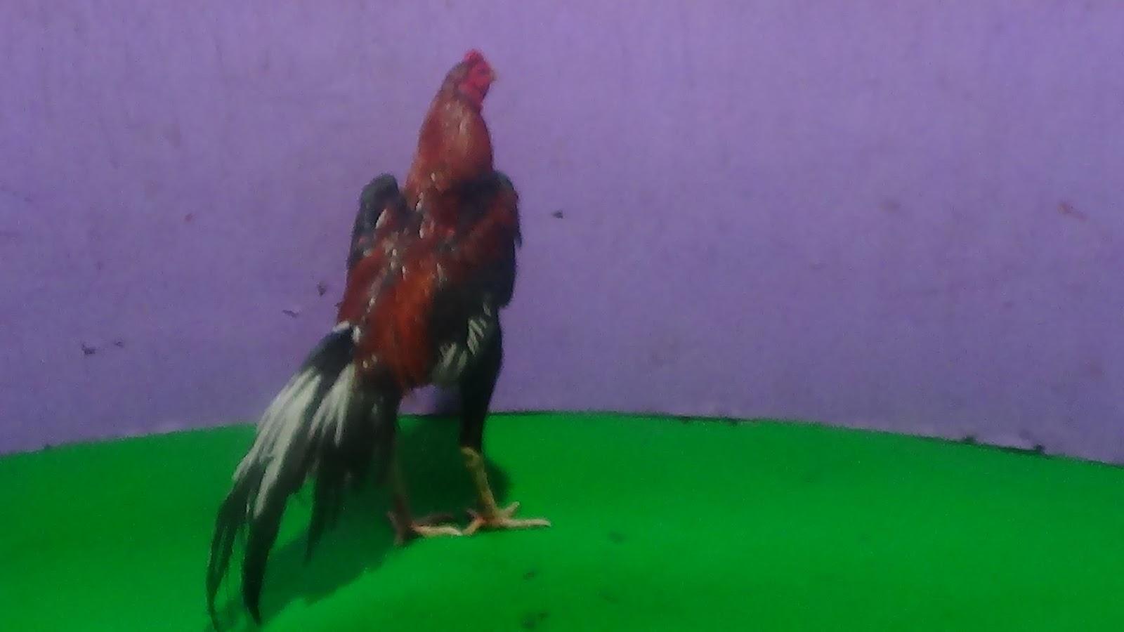 Ayam Petarung Jogjakarta Gatot Kaca Vi Pukul Mati