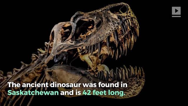 The Largest Tyrannosaurus Rex Ever Discovered