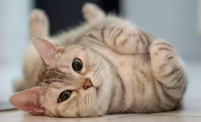 10 Perilaku Kucing Yang Aneh, Begini Penjelasanya