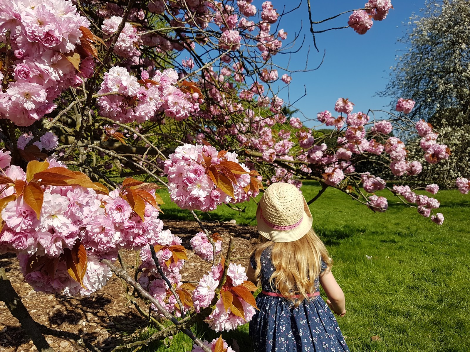 Pink flower cherry tree and a kid at Kew Gardens