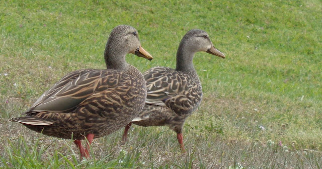 Two Ducks ©Colleen M. Dougher, The Invisible Fly