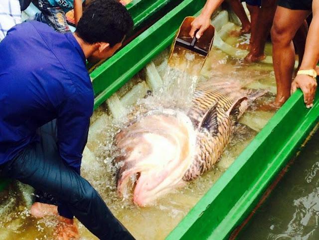 Une carpe géante du Siam dans les filets cambodgiens
