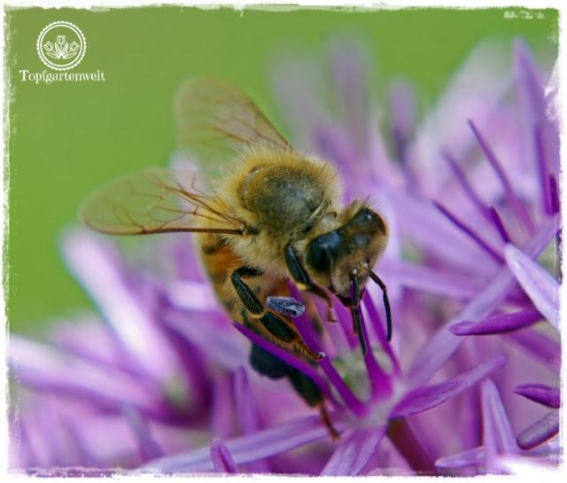 Gartenblog und Foodblog Topfgartenwelt Buchtipp Kreative Naturfotografie: Makroaufnahmen im Garten - Biene auf Zierlauch