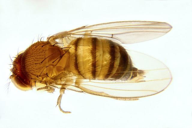 Dorsal view: Female Spotted Wing Drosophila (SWD, Drosophila suzukii)