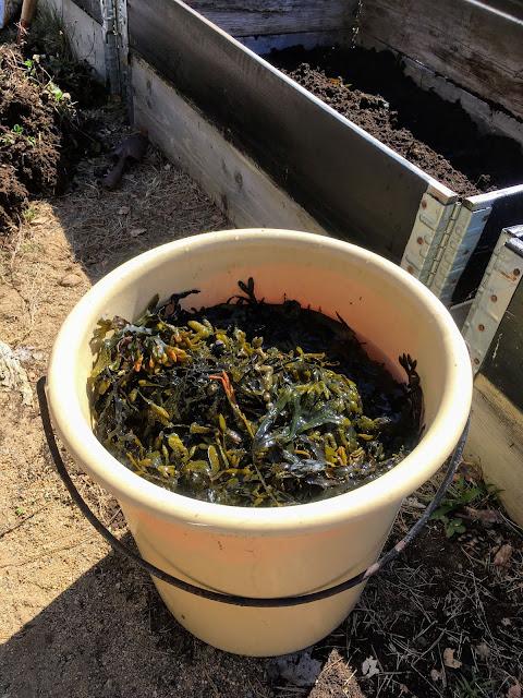 Tips til bruk av tang i hagen - Nyplukket tang IMG_5728 (Redigert)-min