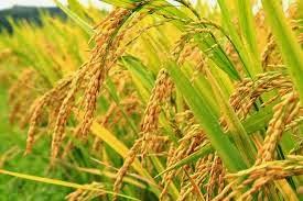 Budidaya tanaman padi sawah hasil melimpah