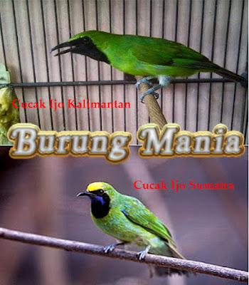 Cucak Ijo Kalimantan dan Cucak Ijo Sumatra