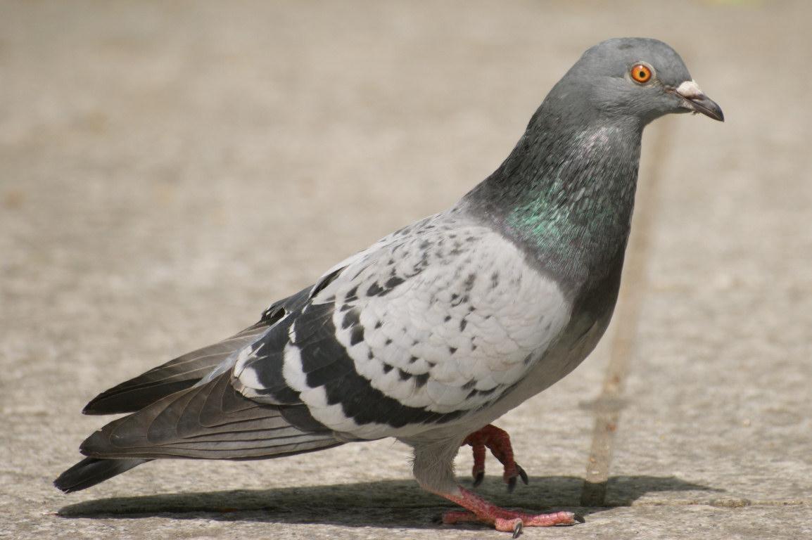 Bir güvercini dışarıdan bir güvercinden ayırt etmek nasıl