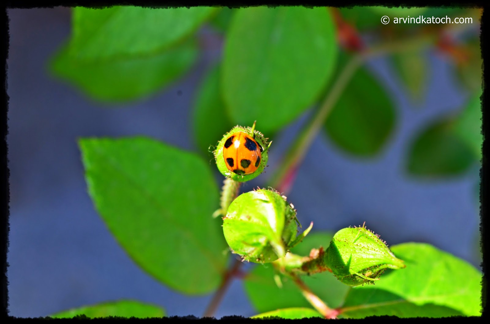 Ladybird beetle, insect, rose, coccinelliae,