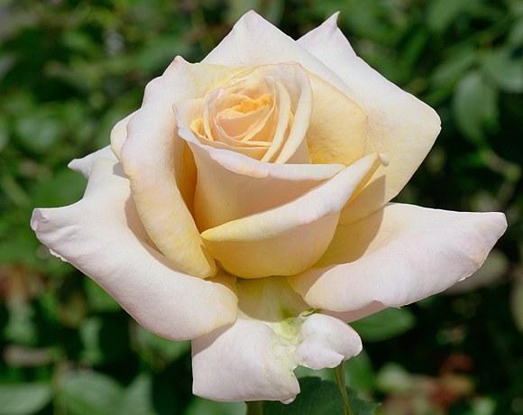 Creme Caramel сорт розы фото купить саженцы Минск