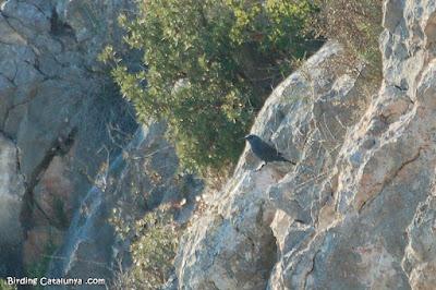 Merla blava (Monticola solitarius)