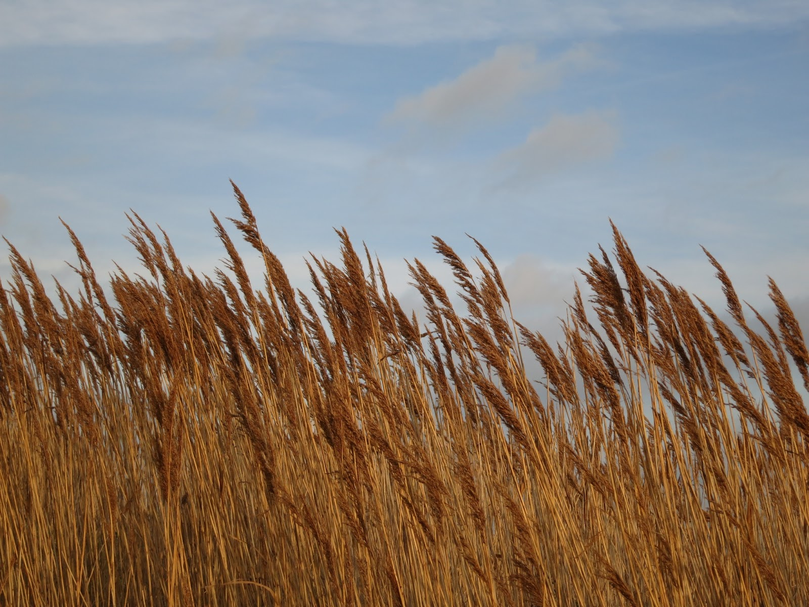 Row of reeds in the gold of evening against a pale blue sky.