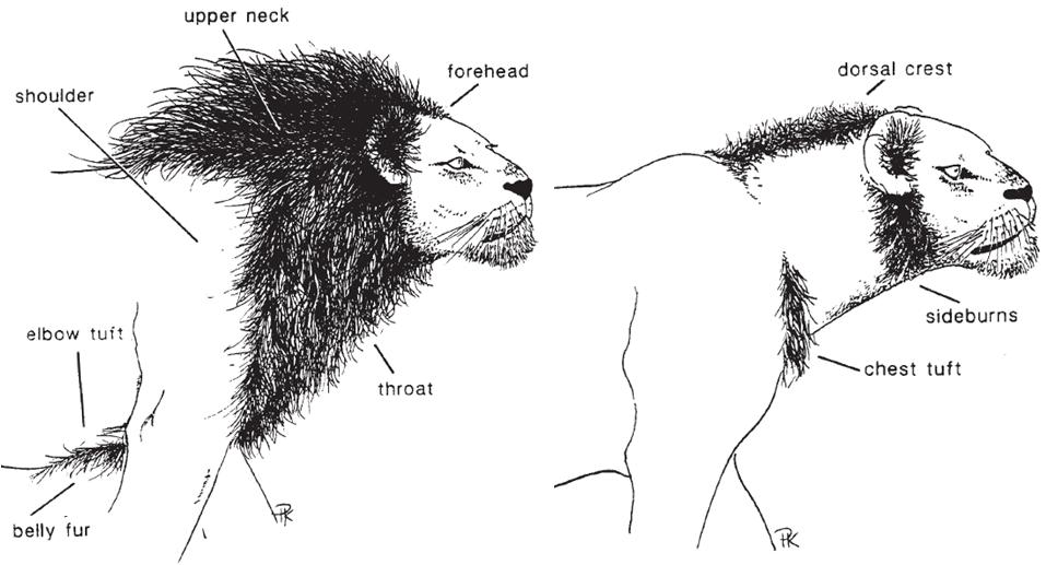 combien nombre de femelle du lion