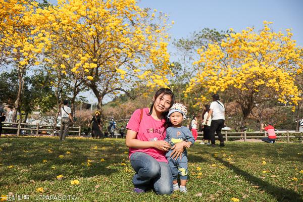 台中大坑廍子公園黃花風鈴木盛開,全家出遊賞花拍美照好去處
