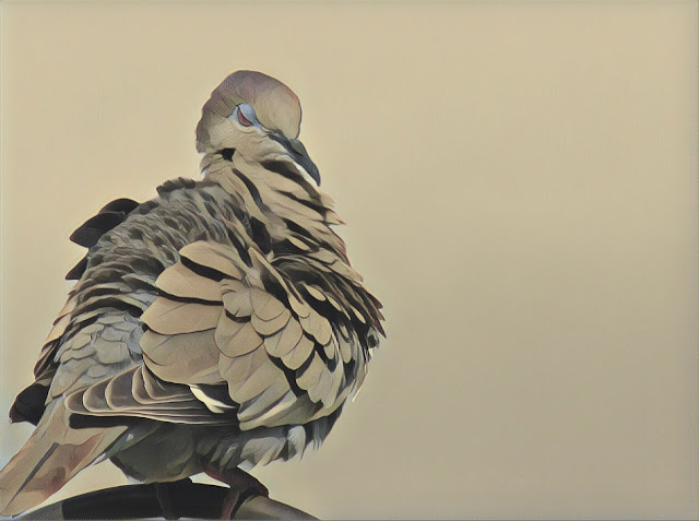 Fluffy dove in South Florida