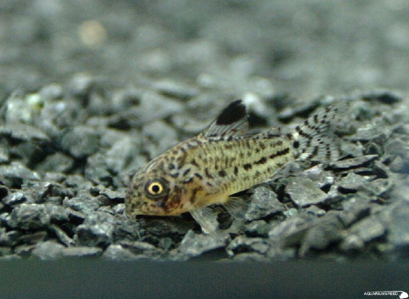 46. Jenis Ikan Hias Aquascape False Julii Cory Catfish