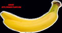 préférence de manger les bananes