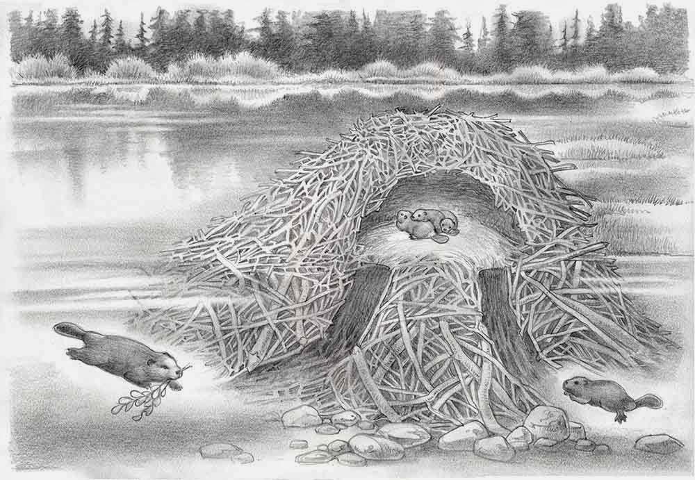 Inside a beavers dam - photo#34