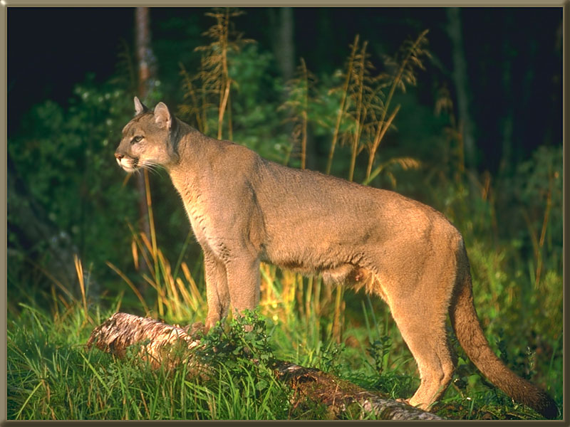 cougars in georgia
