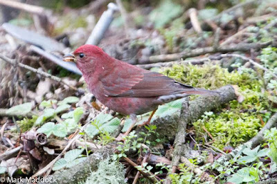 Blanford's Rosefinch