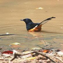 Cara Mengatasi Permasalahan Stress Pada Burung Tledekan