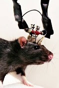 Neuroscientific Rat.