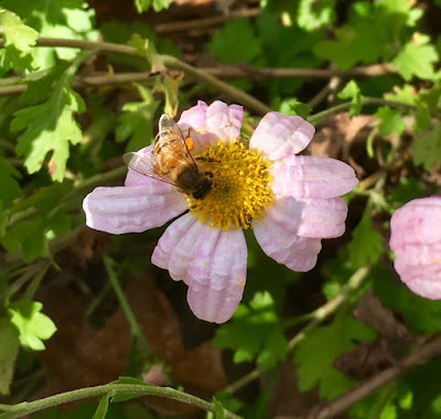 bee, beekeeping, chrysanthemum, foraging, winter, pollen,